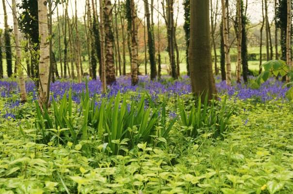 Grass into Bluebells