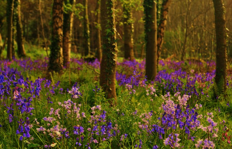 Bluebell Season