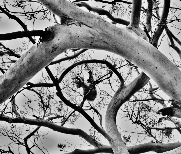 Koala Playing in the Trees in Black and White