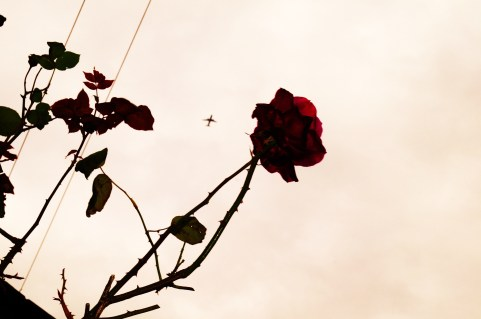 The Wire Plane and Rose