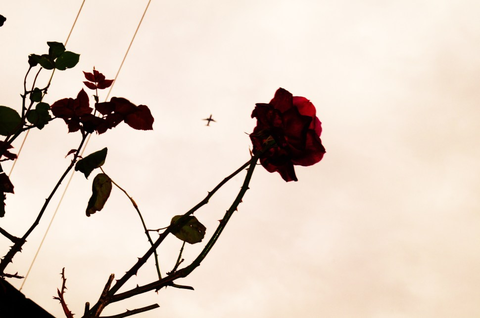 A Wire, A Plane and A Rose