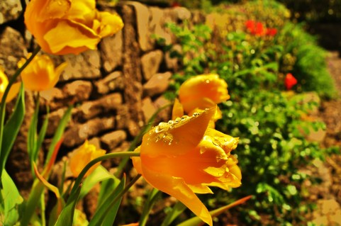 Yellow Tulips and Wall